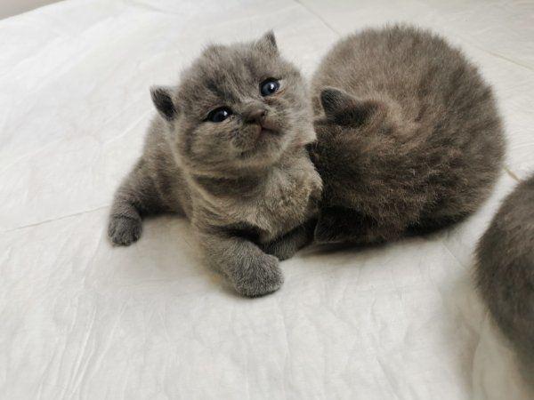 BKH Kitten - BKH Bärchen