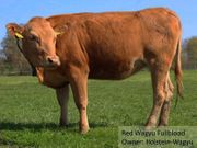 Red Wagyu in ca 20