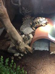 Sternschildkröten