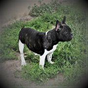 Französische - Bulldoggen