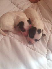 Mini Biewer Yorkshire Terrier