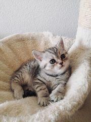 Süße BKH Kitten