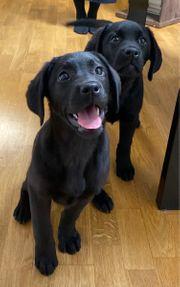 Labrador Welpen Hündinen