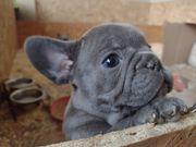 Französische Bulldoggen lilac tan und