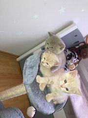 Kätzchen verkaufen