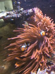Kupferanemone Entacmaea quadricolor Rot