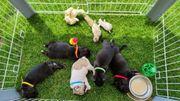 3 Französische Bulldogge Frenchie Bulldogge