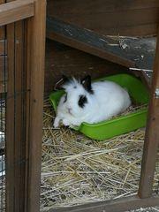 Weißes Kaninchen in Brühl entlaufen