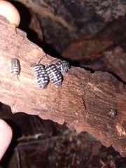 armadillium maculatum zebra