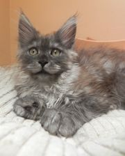 Typvolles XXL Maine Coon Kitten