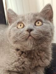 verschmuste reinrassige BKH Kätzchen 12te