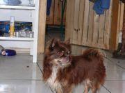 Chihuahua deckrüde in schoko tan