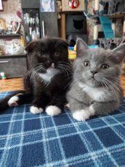 BKH süße Kitten