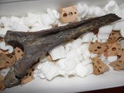Fossilien Versteinerung Mammut Knochen