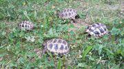 Biete Steppenschildkröten Testudo horsfieldii eigene