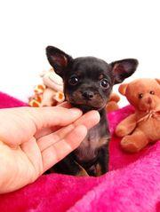 Chihuahua Welpen Ohne Papiere Tiermarkt Tiere Kaufen Quoka De