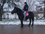 Perfektes Freizeit Pferd Rapp Stute