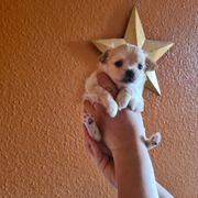 Reinrassige Chihuahua Welpen noch 2