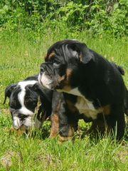 Süsse Englische Bulldogge Welpen