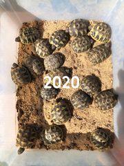 griechische Landschildkröten Jahrgang 2019 und