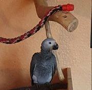 Papageien Babys Graupapagei handzahm mit