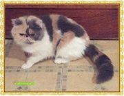 Perser katzen u Exotic shorthair