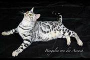 Deckkater Bengal Stammbaum HCM Silber