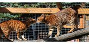 Dreamteam Bengal Katzen