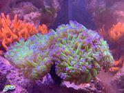 Korallen SPS LPS Weichkoralle