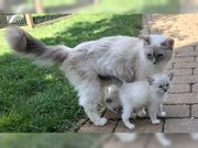 Ragdoll - Kitten Ragdoll - Babys
