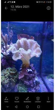 Pilzlederkoralle Xl Koralle Meerwasser