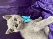 Britisch Kurzhaar Kätzchen Verfügbar