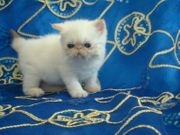 Wunderschöne Exotic Shorthair Kitten