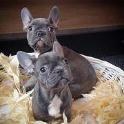 Süße Französische Bulldoggen Baby s