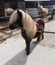 Deckanzeige Shetlandpony Shetty Shetland pony