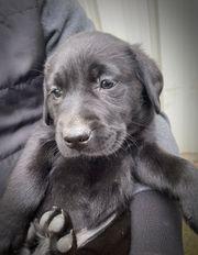 Schwarzer Labradorwelpe Rüde