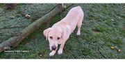 Labrador Retriever zu verkaufen
