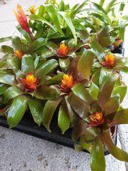 verschiedene Arten Guzmania Bromelien Regenwald