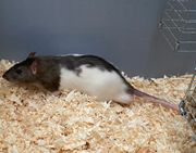 Ratten groß abzugeben