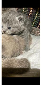 BKH Kitten 1 Kater noch