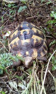 Maurische Landschildkröte abzugeben