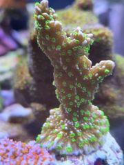 Meerwasser Korallen Weichkorallen SPS Montipora