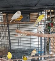 Raza Kanarienvögel