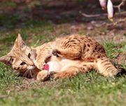 Savannah F1 Katze - für manche