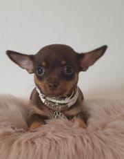 Chihuahuawelpen SchokoTan suchen
