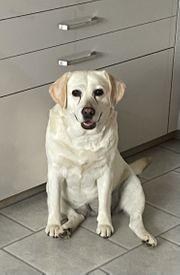Blonde Labrador Hündin