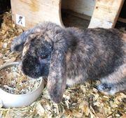 Zwergwidder Kaninchen Hase männlich kastriert