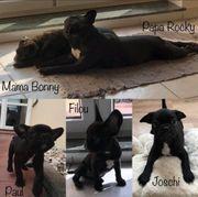 Französische Bulldogge Mopsmischlinge