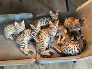 Bengal Savannah Kitten-Bande ist zum