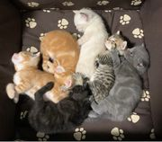 Süße Siam mix Kitten